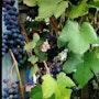 Raisins en Picardie. Monica