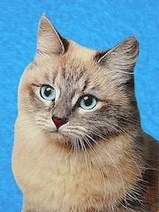 Кошка с глубыми глазами.