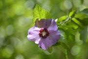 Jolie fleur de printemps. Mite02