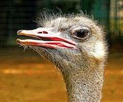 Любопытный страус.