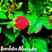 Une fraise des bois.