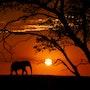L'éléphant du sun downer. Franck Batard