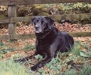 'Autumn Days'Black Labrador Dog Painting. Charlfred Fine Art