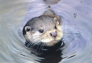'Quick Dip'Otter - Wildlife Art Print.