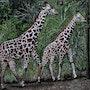 Girafes peinture animal girafes, par joky kamo. Joky Kamo