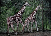 Girafes peinture animal girafes, par joky kamo.