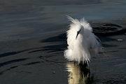 Little Egret - Egretta garzetta- Küçük ak balıkçıl. C. Deniz Seyran