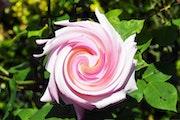 Pink Rose. Cooperman