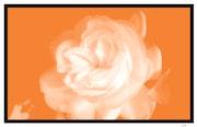 La Rose Blanche.