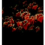 Tulipes Nocturnes. Cathy Massoulle