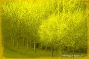 Les arbres d'or.