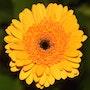 Flower in bloom 4. Cooperman