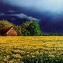 Wind-blown rapeseed. Agasieva Annette
