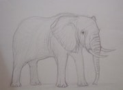 Elephant, pencil sketch. Norman Green