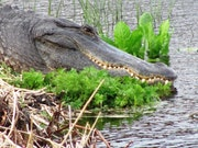 Smiling Gator Zähne eines. Orlando Strivers