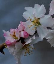 Almond blossom # 2.