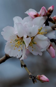 Almond Flowers No. 3.