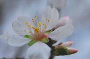 Almond Blossom # 4.