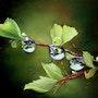 Feuillage et perles d'eau. Houmeau