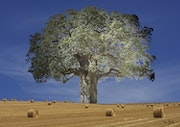 Has anyone ever seen a baobab tree in a cornfield? No! That is done. Max Parisot Du Lyaumont