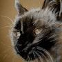 Carbón de leña, un gato siamés. Philippe Flohic