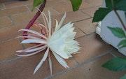 Fleur Ethiopienne- epiphyllum oxypetalum.