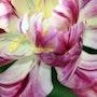 Un tulipán despeinado por el Mistral. Harry Cott