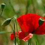 Poppies. Martine Dugue