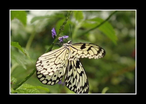 Butterfly. Howard Robertson Howard Robertson