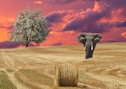 Elephant in a field of wheat. Max Parisot Du Lyaumont