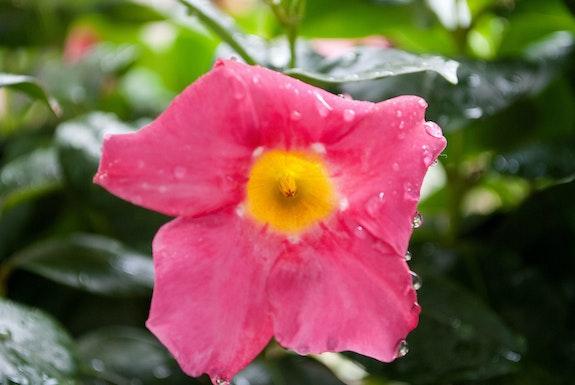 Flower Dipladenia sanderi. Marand Régis Régis Marand