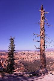 Twisted Baum über Bryce. Howard Robertson