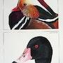 Ducks. Vanessa Moinier