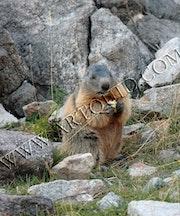 La Marmotte des Alpes la plus connue en Europe.