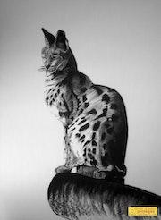 Serval, parc Challandes. Lauferartsuisse