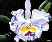 Orchidee Cattleya aus Kolumbien.