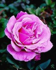 La rose. Raymond Marcel Depienne