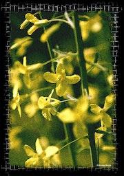 Fleurs de patates. Studio Nb