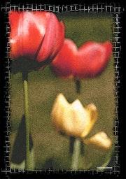 Vision d'une tulipe. Studio Nb