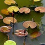 In a garden of Kandy, water lilies and turtles - sri lanka. Françoise Miray