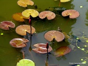 In a garden of Kandy, water lilies and turtles - sri lanka.