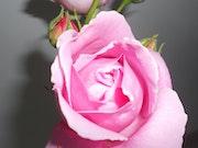 Wonder of the rose centennial.