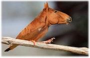Oisal von einem Hybrid Genmanipulation zwischen einem Pferd und einem Vogel.