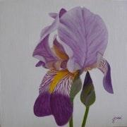 Iris mauve.