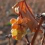Grappe de raisin sous le soleil d'automne. Michel Worobel