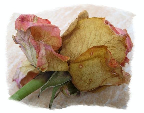 La rose oubliée. Anne-Lucie Tarrié Altarrié
