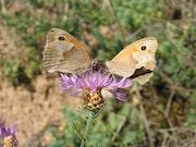 Duo de papillons.