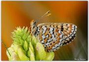 Nymphalidae / Nazugum / / Euphydryas aurinia.