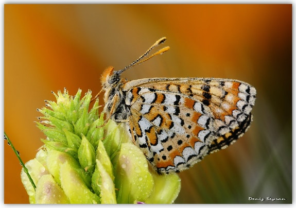 Nymphalidae / Nazugum / / Euphydryas aurinia.  C. Deniz Seyran