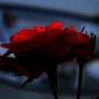 Rose Sauvage. Ferri
